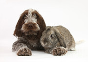 Lop Prints - Puppy And Rabbt Print by Mark Taylor