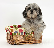 Picnic Basket Prints - Puppy In A Basket Print by Mark Taylor