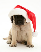 Mastiff Pups Prints - Puppy In A Santa Hat Print by Jane Burton