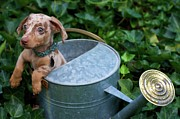Watering Can Framed Prints - Puppy In A Watering Can Framed Print by Kim Fearheiley Photography
