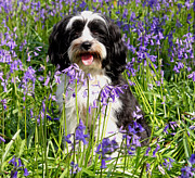 Simon Bratt Photography Prints - Puppy in Bluebells Print by Simon Bratt Photography