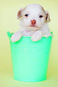 Yellow Background Posters - Puppy In Bucket Poster by Amy Lane Photography