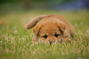 Selective Focus Framed Prints - Puppy In Grass Framed Print by Eric Jung