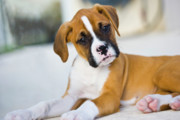 Boxer Puppy Photos - Puppy by Juan  Silva
