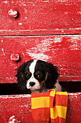 Bureau Photo Prints - Puppy King Charles CavalierPuppy King Charles CavalierPuppy Ki Print by Garry Gay