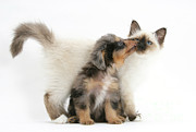 Cross Breed Photos - Puppy Licking Kitten by Mark Taylor