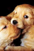 Golden Retriever Puppies Posters - Puppy Love Poster by Laura Mountainspring