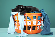 Sleeping Dog Posters - Puppy Lying In Laundry Basket Poster by Martin Poole