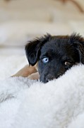 Blanket Posters - Puppy Lying On Soft Blanket Poster by Angela Auclair