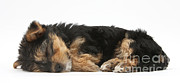 Sleeping Dog Prints - Puppy Nap Print by Mark Taylor