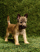 Cairn Terrier Photos - Puppy On Background by Catherine Ledner