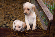 Labradors Prints - Puppy Siblings Print by Linda Phelps