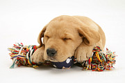 Sleeping Dog Photo Posters - Puppy Sleeping Poster by Jane Burton