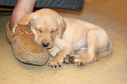 Animal Baby Posters - Puppy Sleeping on Daddys Foot Poster by Linda Phelps