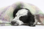 Sleeping Dog Posters - Puppy Sleeping Under Scarf Poster by Mark Taylor