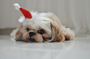 Dog Lying Down Prints - Puppy Wearing Santa Hat Print by Sonicloh
