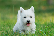 White Maltese Photos - Puppy West highland white terrier by Waldek Dabrowski