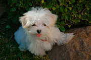 Maltese Dogs Photos - Pure Cuteness by Lynn Bauer