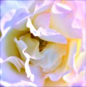 Rose Closeup Posters - Pure Poster by Gwyn Newcombe