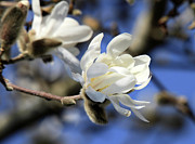 March Photos - Pure Magnolia flower by Pierre Leclerc