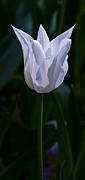 Byron Varvarigos - Pure White Petals