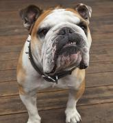 Studded Collar Framed Prints - Purebred English Bulldog Pacifica Framed Print by Stuart Westmorland