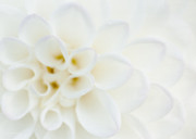 Dahlias Posters - Purity Poster by Reflective Moments  Photography and Digital Art Images