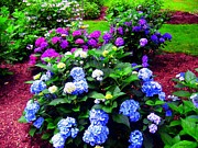 Red Geraniums Prints - Purple And Blue Hydrangeas Print by Annie Zeno