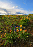 Balsamroot Framed Prints - Purple and  Gold Framed Print by Mike  Dawson