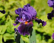 Purple And Orange Iris Flower Print by Jai Johnson