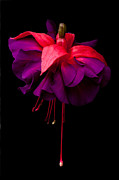 Fushia Photo Posters - Purple and Pink Beauty Poster by Dawn OConnor