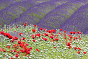 Abundance Posters - Purple and Red Poster by Eggers   Photography