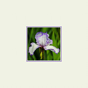 White Iris Posters - Purple and White Iris Photo Square Poster by Jai Johnson