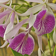 Mgp Photography Framed Prints - Purple and White Orchid 2 Framed Print by Michael Peychich
