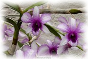 Jagged Border Photo Framed Prints - Purple and White Orchids 2 Framed Print by Rose Santuci-Sofranko