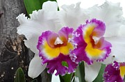 Orchids Art - Purple and White Orchids by Diana Nigon
