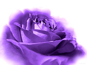Purple Roses Photo Prints - Purple and White Rose Flower Print by Jennie Marie Schell