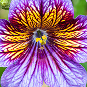 Purple Flower Flower Image Photos - Purple And Yellow Flower by Ian Grainger