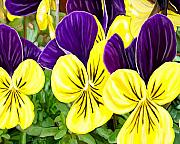 Purple Originals - Purple and Yellow Pansies by David Wagner