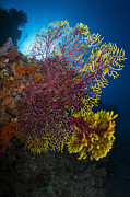 Raja Ampat Photos - Purple And Yellow Sea Fan In Raja by Todd Winner