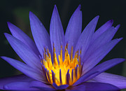 Opposite Prints - Purple and Yellow Water Lily Print by Sabrina L Ryan