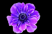 Anenome Photos - Purple Anemone Flower by Mariola Bitner