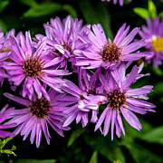 Nc Posters - Purple Aster Blooms Poster by John Haldane