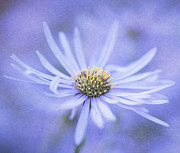 Aster  Photo Framed Prints - Purple Aster Flower Framed Print by Neil Overy