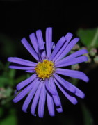 Michael Peychich - Purple Aster
