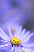 Aster  Photo Framed Prints - Purple Aster Framed Print by Neil Overy