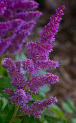 Spirea Posters - Purple Astilbe Bloom 2 Poster by Douglas Barnett