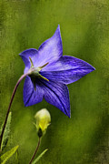 Chinese Bellflower Framed Prints - Purple Balloon Flower Framed Print by Darren Fisher
