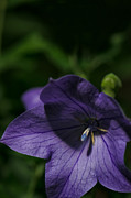 Balloon Flower Posters - Purple Balloon Flower Poster by Tim Grimmel