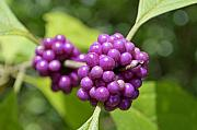 Shrub Originals - Purple Beautyberries by Kenneth Albin